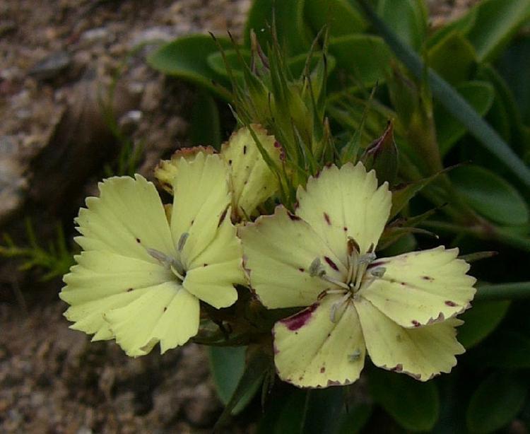 канарейка гвоздики