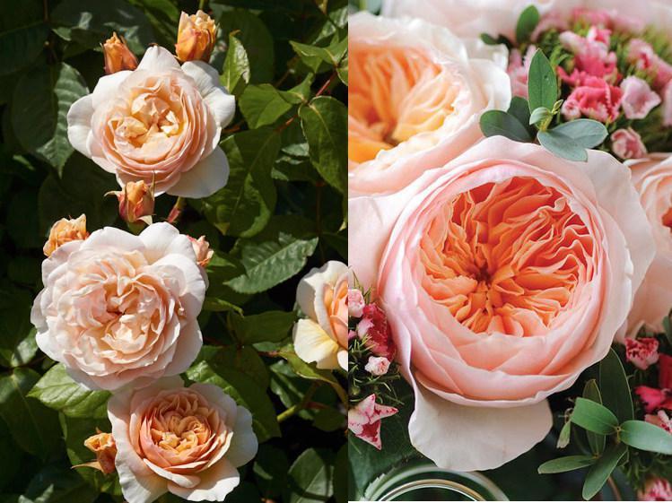 роза свит джульет розовые розы