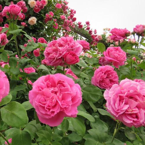 роза поль нейрон красивые розы для сада
