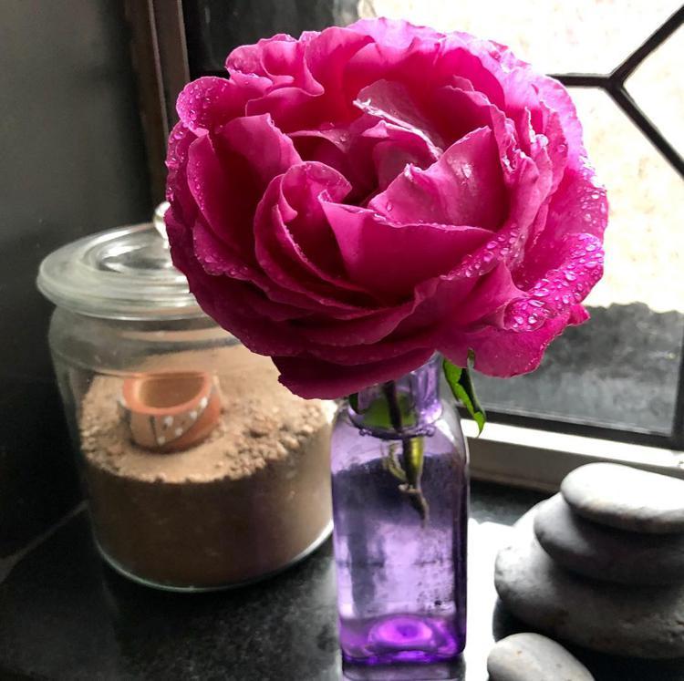роза поль нейрон красивые розы розовые розы