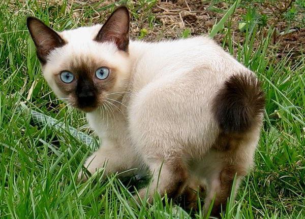 Меконгский (тайский) бобтейл кот с коротким хвостом и голубыми глазами