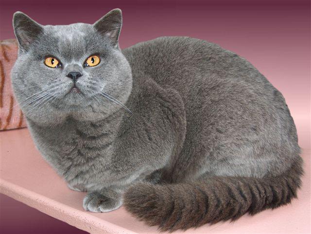 Британская короткошерстная крупный кот с большой головой