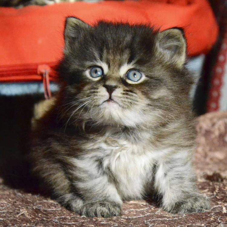 мохнатый сибирский котенок