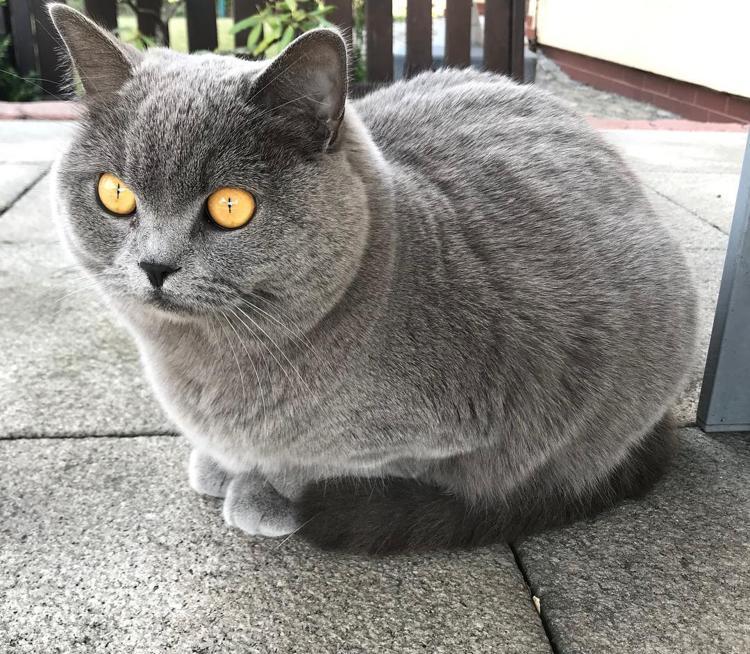 британский гладкошорстный кот
