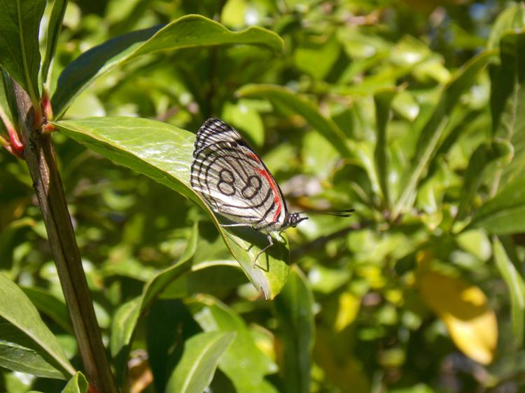 "Diaethria eluina или ""бабочка 88"""