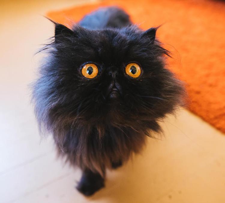 черный персидский котенок фото все