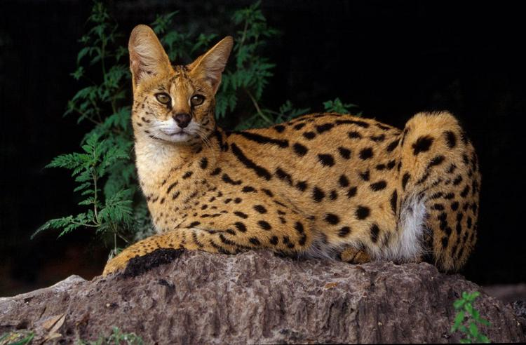 Самая красивая порода кошек Ашера